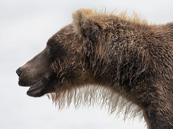 Номинация: «Портрет животного». Автор: Игорь Гущин. Название: New Bear Fashion